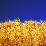 Осенняя защита зерновых культур