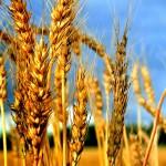 В Украине собрано 37 млн. тонн зерна – Минагропрод