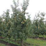 Peste 30 mii tone de mere s-au recoltat până la 1 septembrie