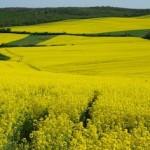 România va strânge cea mai mare recoltă de rapiță din istorie în această vară