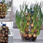 Ceapă cultivată în sticle din plastic