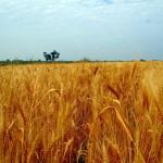 Egiptul a cumpărat peste 400 mii de tone de grâu din România şi Rusia