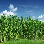 Rusia vrea să devină un mare exportator mondial de porumb. La grâu e numărul 1 mondial, după ce a devansat SUA
