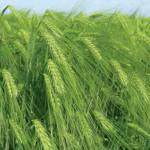 Terpal® – регулятор роста для посевов ячменя и других зерновых культур