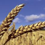 Capalo® – un fungicid performant în controlul făinării la grîu şi orz