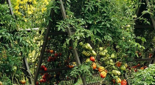 5 metode inedite de a cultiva roşiile în grădină