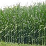 Europenii vor recolta mai mult porumb şi mai puţin grâu în 2016