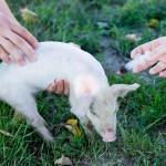 Regulamentul de acordare a despăgubirilor în urma lichidării focarelor de boli transmisibile ale animalelor a fost modificat