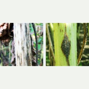 Alternarioza-floarea-soarelui-BASF-fungicide_picture_350x350px