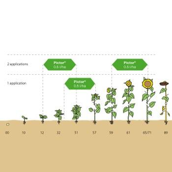 Fungicid-Pictor-Floarea-soarelui-grafic-BASF_picture_350x350px