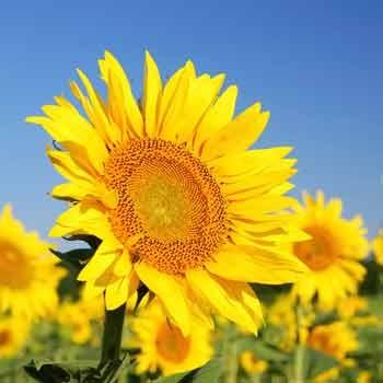 Fungicid-Pictor-floarea-soarelui-BASF_picture_350x350px