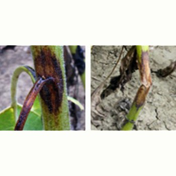 Phomopsis-floarea-soarelui-BASF-fungicide_picture_350x350px
