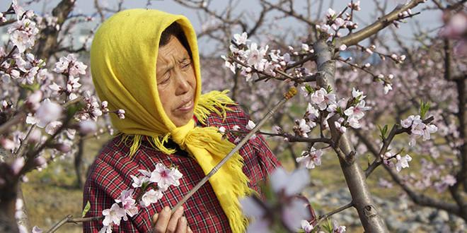 Rămaşi fără albine, chinezii au ajuns să facă polenizarea manual
