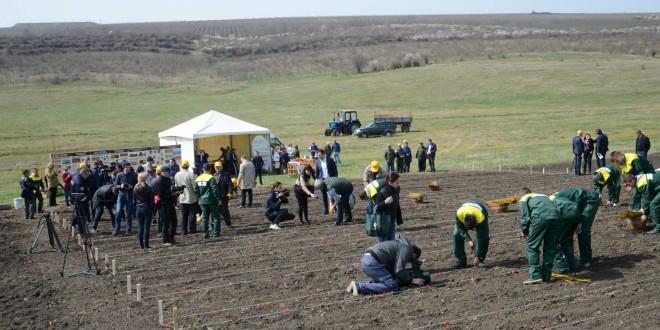 În Moldova a fost sădită prima plantaţie de salcie energetică