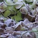 Se estimează pierderile cauzate de îngheţurile din aprilie