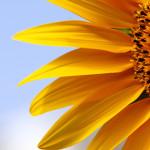 Pictor™ – un fungicid de succes pentru floarea-soarelui