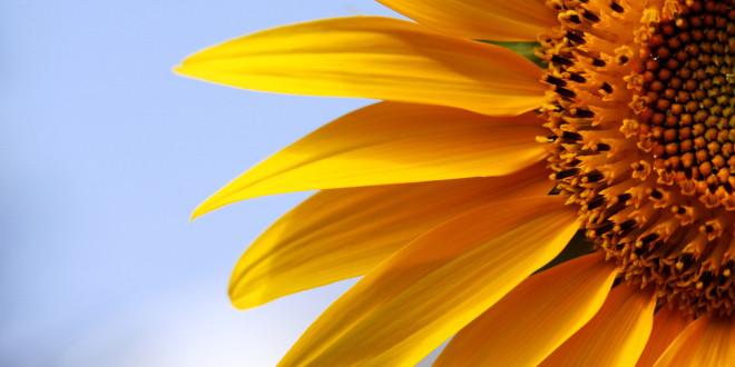 Pictor – un fungicid de succes pentru floarea-soarelui
