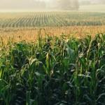 Prețurile grâului și porumbului vor ajunge la minimul ultimilor zece ani în 2016