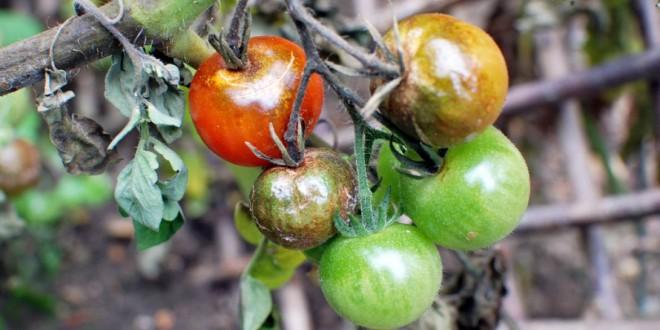 Bolile legumelor. Combaterea manei tomatelor