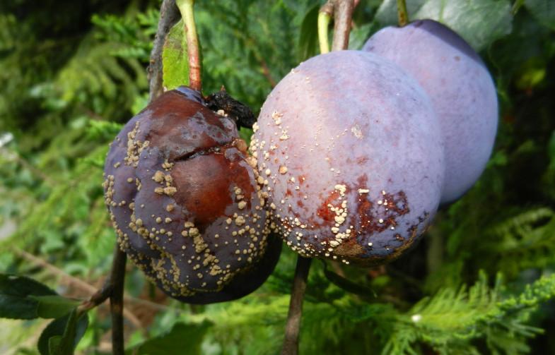 Prune atacate de monilioză. Foto: paradisverde.ro