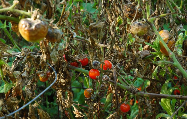 Epidemie de mană la tomate Sursă foto: www.paradisverde.ro