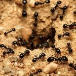 Cum scăpăm de furnici: 10 soluţii care dau rezultate
