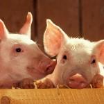 O fermă de porci, evaluată la 1 miliard de dolari, va fi construită de Rusia