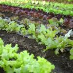 Grădina de legume: lucrări esențiale în luna mai