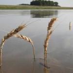 Inundaţiile din Franţa ar putea afecta recolta de grâu a Uniunii Europene din acest an