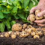 Un fermier din România livrează cartofi pentru chips-urile Lay's