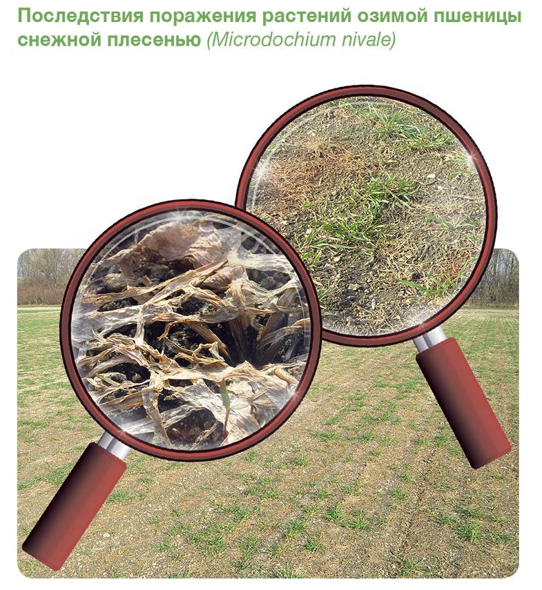 Snejnaia-pleseni1-rus