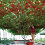 Copacul care produce… o tonă de roşii pe an