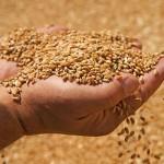 Recoltă record de grîu în Republica Moldova