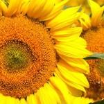 ES Arcadia SU – hibrid timpuriu de floarea soarelui de la Euralis