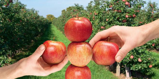 Regalis® Plus – regulator de creştere cu acţiune retardantă pentru livezile de măr