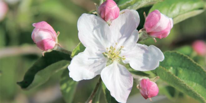 Delan – № 1 в защите сада от парши