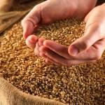Preţul la grâu creşte la nivel mondial în pofida ofertei înalte