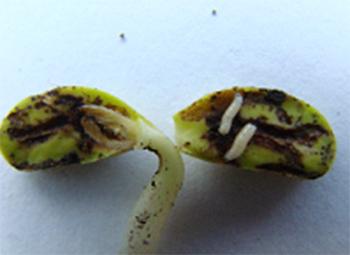 Рис. 4 Личинка ростковой мухи