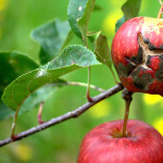 Основы защиты яблони от парши
