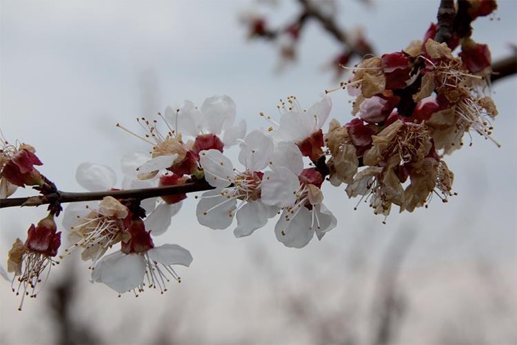 Абрикос. Поражение после цветения