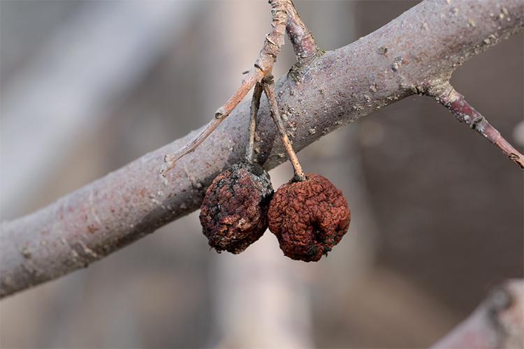 Зимующая инфекция на плодах