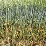 Актуальные рекомендации BASF по яровому ячменю