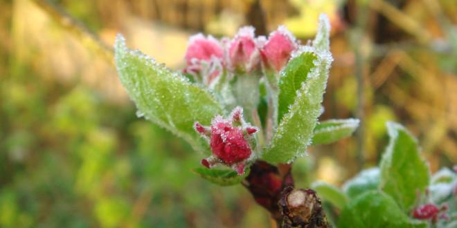 Metode de protecţie contra îngheţurilor tardive de primăvară a pomilor fructiferi