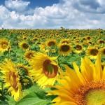 România a avut anul trecut cele mai mari suprafeţe din UE cultivate cu floarea soarelui şi porumb