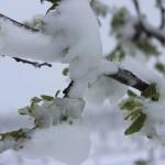 Cum salvăm pomii afectaţi de ger sau grindină. Tăieri şi lucrări utile!