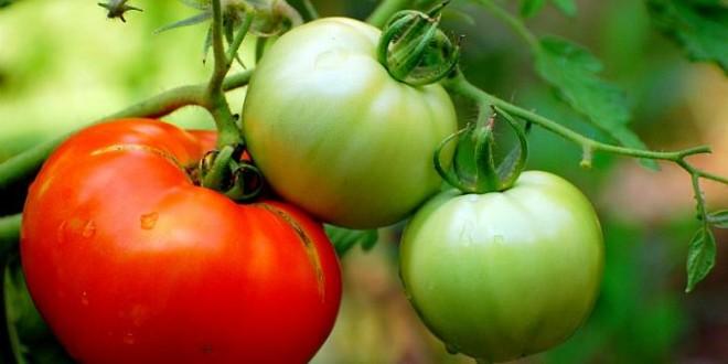 Cum grăbim coacerea roșiilor în mod natural, fără a folosi produse chimice