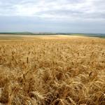 Topul celor mai mari 25 producători mondiali de grîu