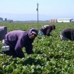 Producătorii agricoli din România se plîng că nu au forţă de muncă, pentru că statul încurajează oamenii să stea acasă cu ajutoare sociale