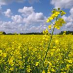 Piaţa rapiţei: recolta slabă nu influienţează preţurile
