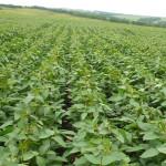 Cum să obţinem o recoltă maximă de soia în condiţiile anului 2017?